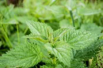 stinging-nettle-green-pus-nettle-nature-40742